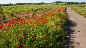 Spring Road in Languedoc with Poppies