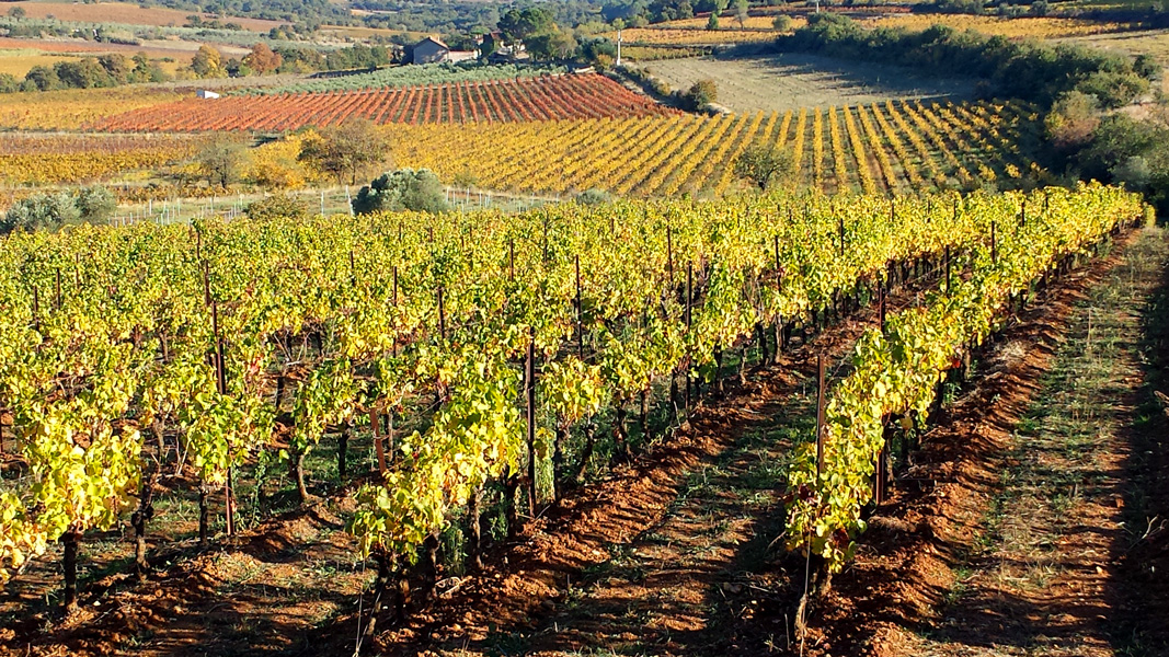 Autumn colours in the vineyards near Caux, Languedoc