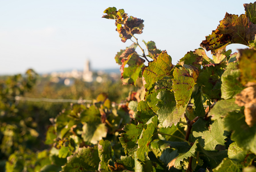 View of Caux, Languedoc from the vines