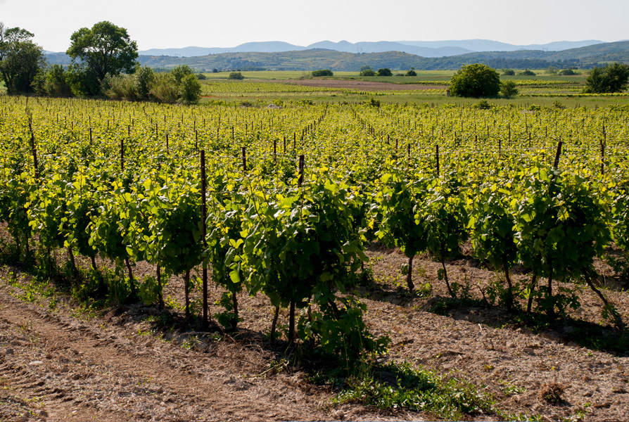 Vineyards, near Caux, Languedoc in summer