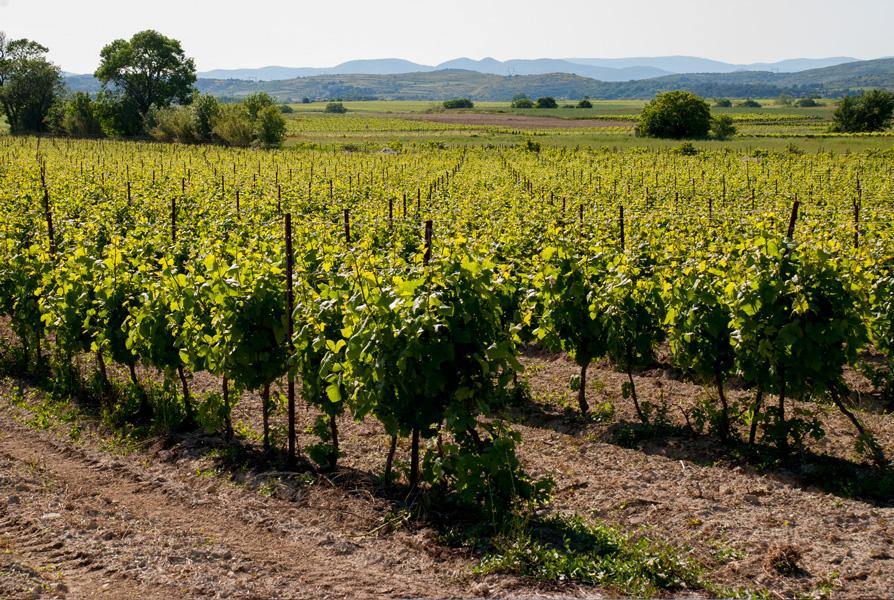 Vineyards, near Caux, Languedoc in summer
