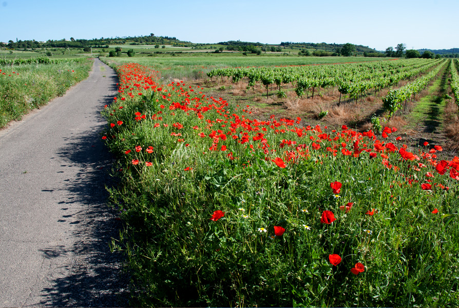 Spring poppies on the roadside, Languedoc