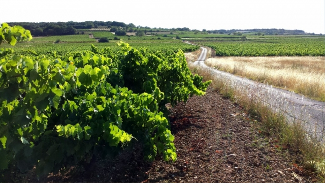 Quiet road through the vineyards, Languedoc