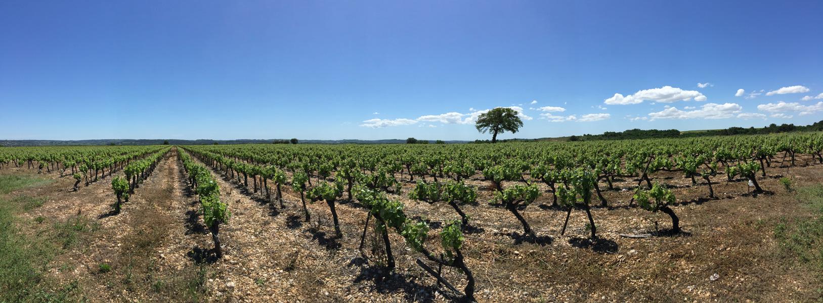 Vineyards near Caux, Languedoc