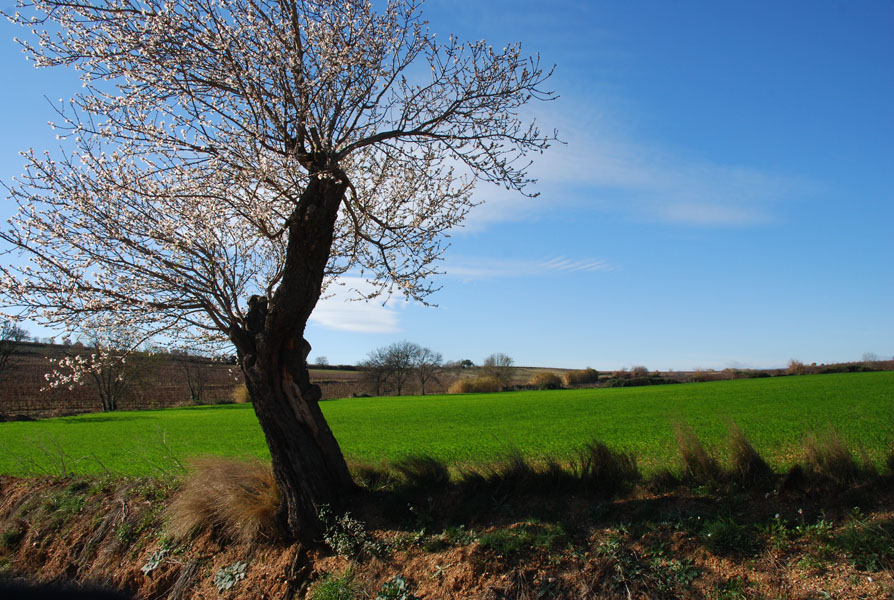 Caux, Languedoc: almond trees in January