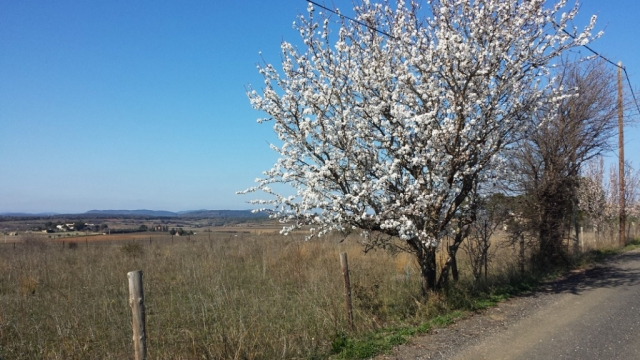 Almond trees by roadside near Caux, Languedoc