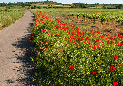 Poppies in bloom along roadside