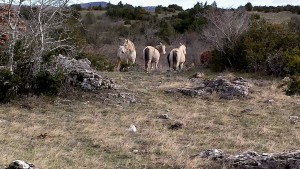 Horses grazing in the Cevennes, France