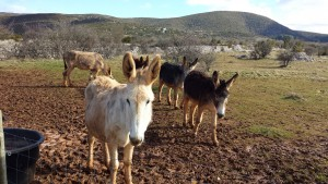 Donkeys in the Cevennes, France