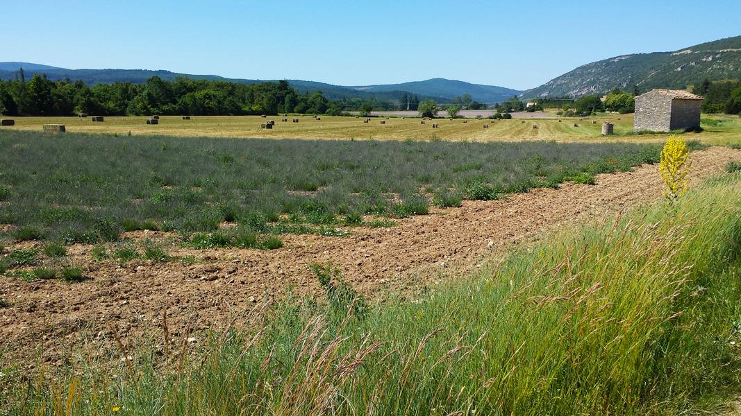 Lavendar Fields, Provence
