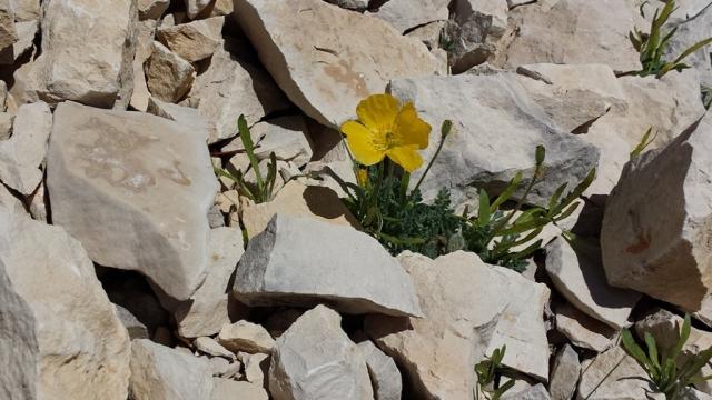 Rock Flowers, Mont Ventoux, Provence
