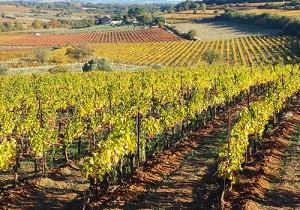 Vineyards in Autumn, Languedoc
