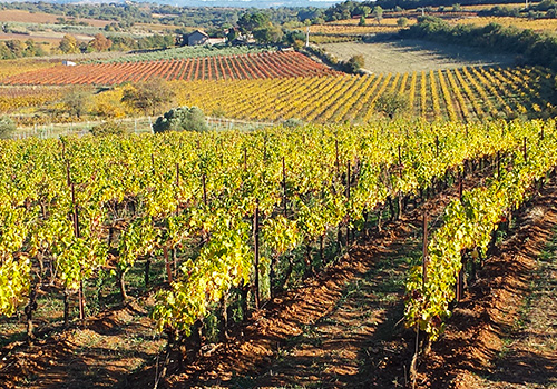 Vineyards in Autumn, Languedoc