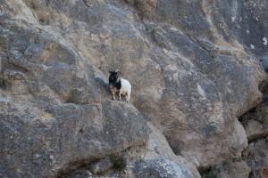Mountain goat near the Cirque de Moureze
