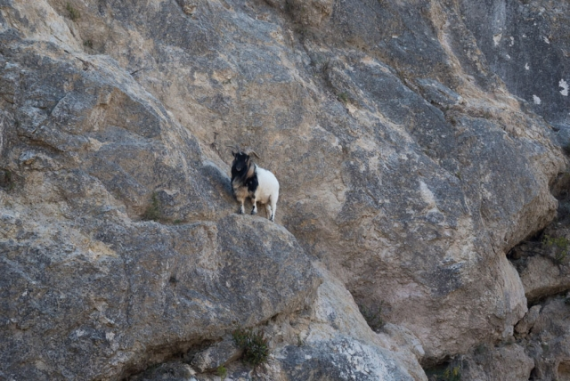 Mountain goat near the Cirque de Moureze