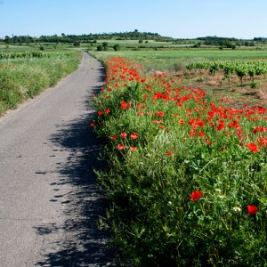 Poppies in bloom along roadside near Caux, Languedoc